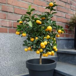 Calamondin-Orange Stämmchen