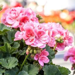 Geranie, rosa, XL-Qualität