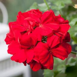 Geranie, rot, XL-Qualität