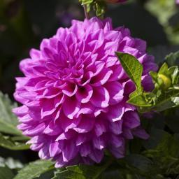 Gärtner Pötschkes lila Dahlie, 19cm-Topf
