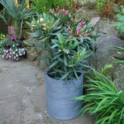 Oleander Busch Twin, im ca. 20 cm-Topf