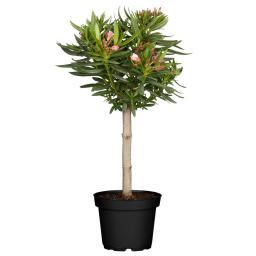 Oleander Stamm, XL-Qualität