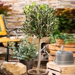 Oliven-Stamm, im ca. 18 cm-Topf