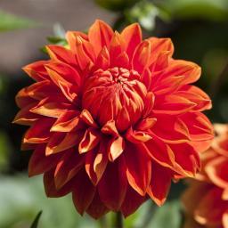 Dahlie, orange, XL-Qualität