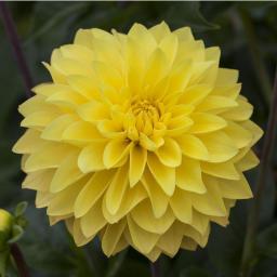 Gelbe Topf-Dahlie, 12cm-Topf