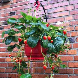 Erdbeer-Ampel, im ca. 27 cm-Ampeltopf