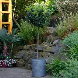 Echter Lorbeer-Baum, XL-Qualität