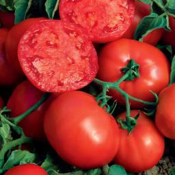 Tomatenpflanze Fleischtomate, veredelt, im ca. 12 cm-Topf