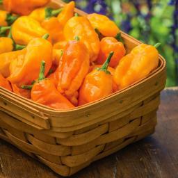 Paprikasamen Orange Pepperoncini