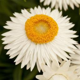 Weiße Strohblume XL
