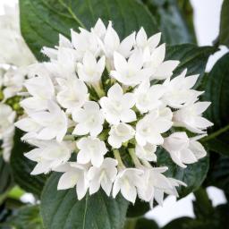 Weiße Pentas, im ca. 12 cm-Topf