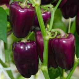 Paprikasamen Snacking Purple F1
