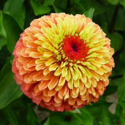 Zinniensamen Queeny Lime Orange