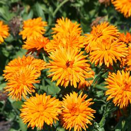 Ringelblumensamen Calexis Orange