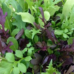 Samenmischung Asia Baby-Leaf-Salat