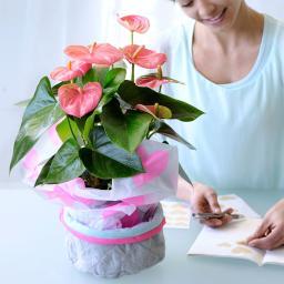Rosa Flamingoblume, im ca. 12 cm-Topf