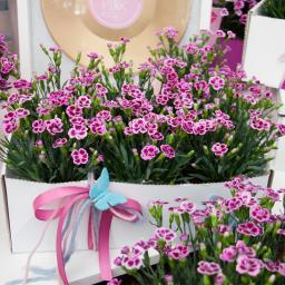 Nelke Pink Kisses®, im ca. 11 cm-Topf