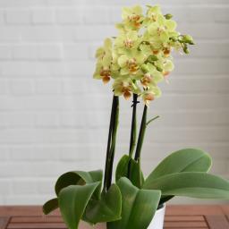 Schmetterlings-Orchidee Sunshine inklusive Über- und Wasserspeichertopf