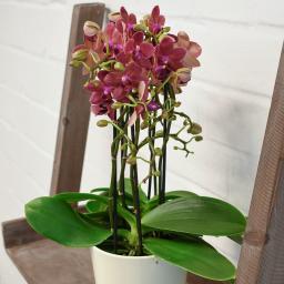 Schmetterlings-Orchidee Sunset inklusive Über- und Wasserspeichertopf