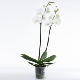 Weiße Schmetterlings-Orchidee