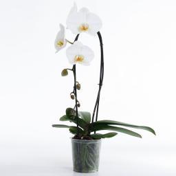 Weiße Schmetterlings-Orchidee Cascade