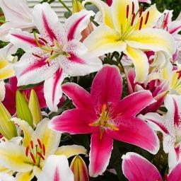 Bicolor Gartenlilien-Mischung