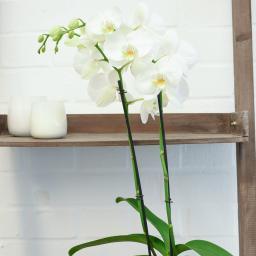 Schmetterlings-Orchidee weiß inklusive Über- und Wasserspeichertopf