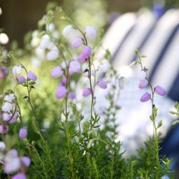 Irische Glockenheide, violett