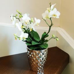 Schmetterlings-Orchidee Lausanne, mehrtriebig, ungestäbt, im ca. 12 cm-Topf