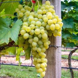 Weintraube des Nordens