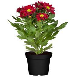 Herbst-Chrysantheme, rot