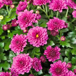 Herbst-Chrysantheme, violett