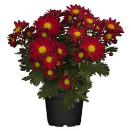 Herbst-Chrysantheme Mehrtrieber, rot