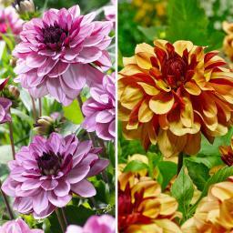 Blumenzwiebel-Sortiment Creme-Dahlien