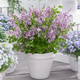 Zwerg Duftflieder Flowerfesta®  Purple, im ca. 19 cm-Topf