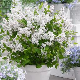 Zwerg Duftflieder Flowerfesta®  White, im ca. 19 cm-Topf
