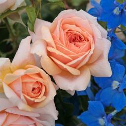 Beetrose Garden of Roses®, im ca. 17 cm-Einpflanz-Topf