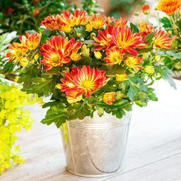 Orange Chrysantheme Melodie Splash Energie