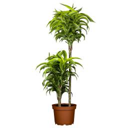 Drachenbaum Fragans, 2er Tuff
