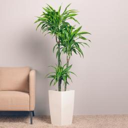 Drachenbaum Fragans, 3er Tuff