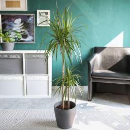 Drachenbaum Marginata, 2er Tuff, im ca. 17 cm-Topf