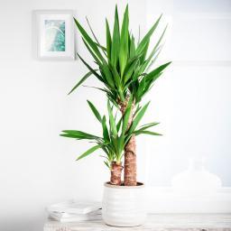 Riesen-Palmlilie, 2er Tuff, im ca. 17 cm-Topf