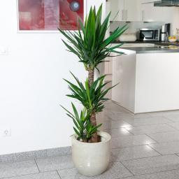 Riesen Palmlilie, 3er Tuff, im ca. 24 cm-Topf