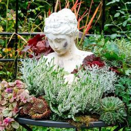Weiße Knospenheide Beauty Ladies, im ca. 13 cm-Topf
