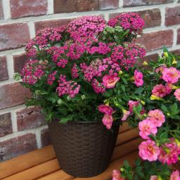 Schafgarbe Milly Rock Rose, XL-Qualität