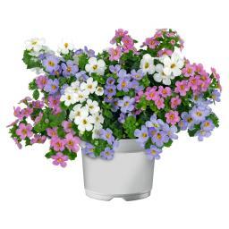 Trio-Schneeflockenblume