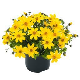 Goldmarie Yellow Charm