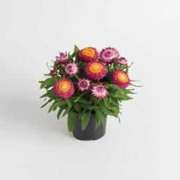 Pinke Strohblume