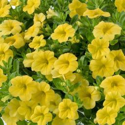 Gelbes Zauberglöckchen, im ca. 12 cm-Topf