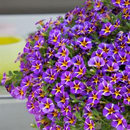 Gesterntes Zauberglöckchen Rave, violett, im ca. 12 cm-Topf